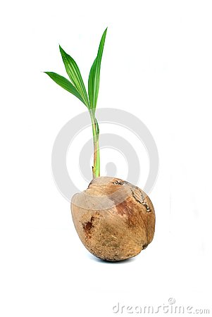Free Coconut Germinate. Stock Photography - 127869572