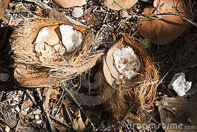 Coconut on the Ground