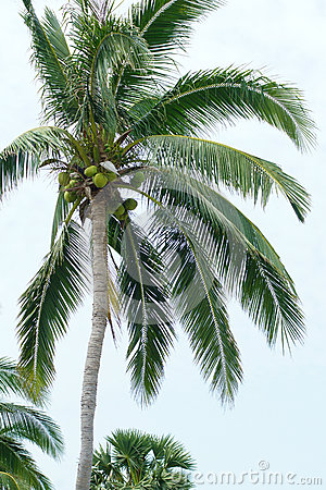 Free Coconut Palm Royalty Free Stock Photography - 39493477
