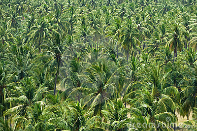 Coconut or palm garden in tropical island