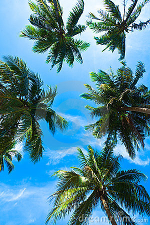 Free Coconut Palm Heads On Blue Sky Royalty Free Stock Photos - 12050478