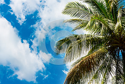Coconut Palm Leaves Against The Sky Stock Photo Image