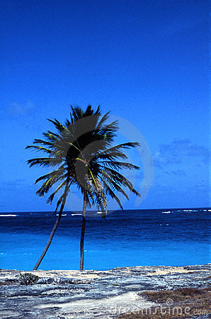 Coconut palm and ocean
