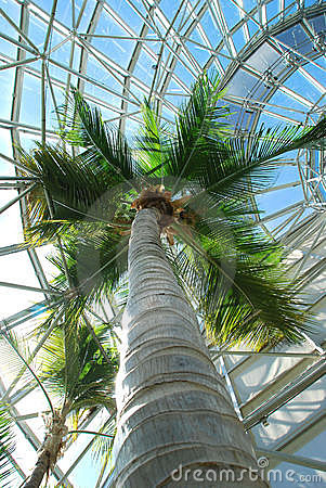 Coconut palm in palm house