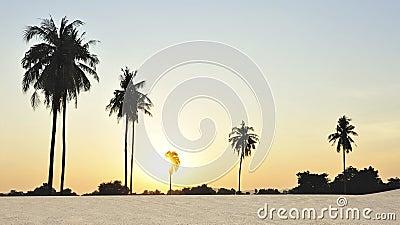Coconut palm tree