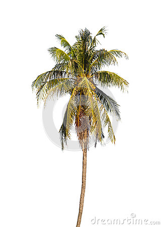 Coconut palm tree.