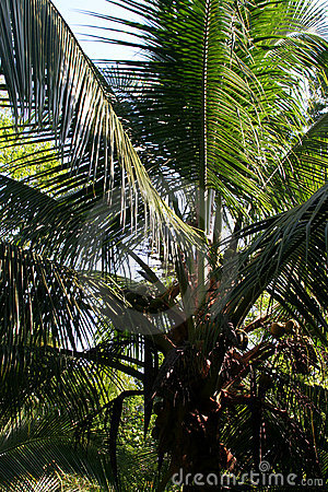 Coconut Palm Tree near Red Frog Beach