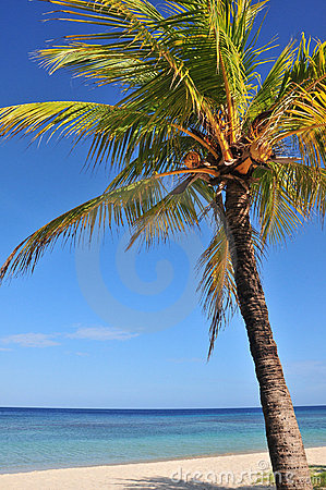 Coconut palm tree and ocean