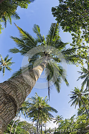 Coconut Palm Tree over tropical white sand beach