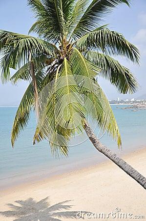 The coconut palm tree on sand beach