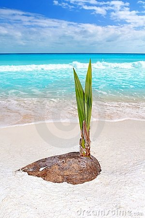 Coconut palm tree sprout grow tropical beach