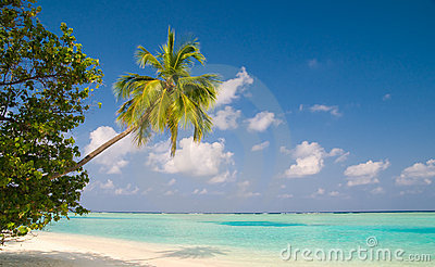 Coconut palm tree on a tropical beach