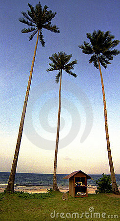 Coconut palm trees by ocean