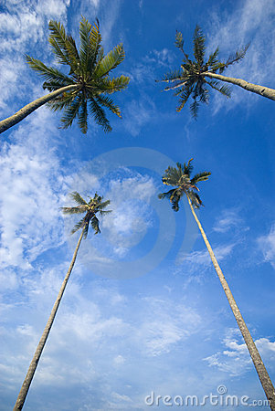 Free Coconut Palm Trees Reaching Out To Skies Stock Photo - 5900740