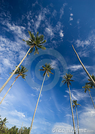 Free Coconut Palm Trees Reaching Out To Skies Stock Images - 5900774