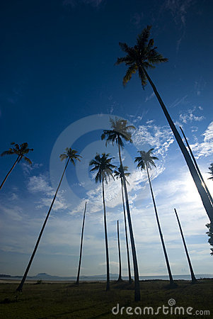 Coconut palm trees reaching out to skies