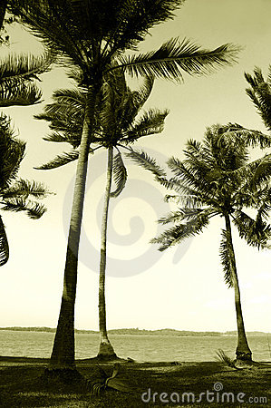 Coconut palm trees in sea wind