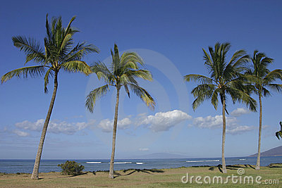 Coconut palm tress along the b