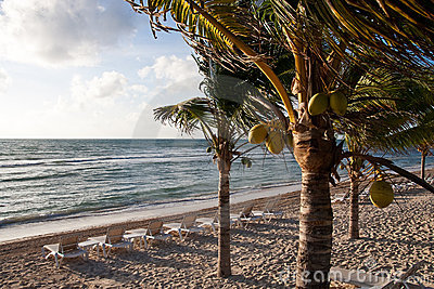 Coconut Palms on Beach with Chaise Lounges