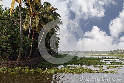 Coconut palms on the shore of the lake. Kerala