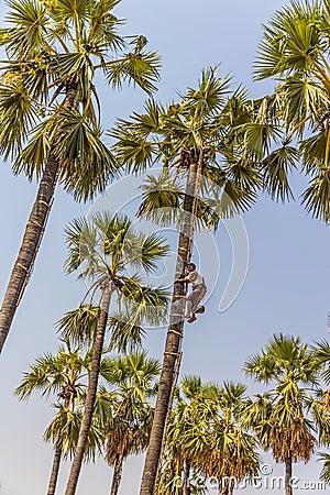 Coconut picker Editorial Stock Image