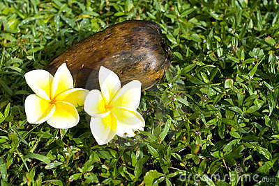 Coconut and plumeria flowers