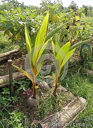 Coconut seedlings organic farm