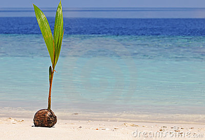 Coconut sprout