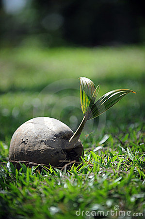 Free Coconut Sprout Stock Photos - 23678473