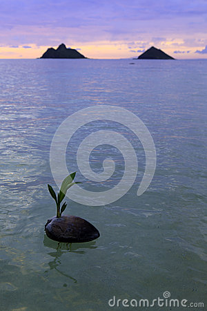 Coconut at sunrise in the ocean