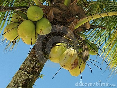Coconut tree - 2