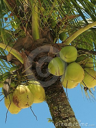 Free Coconut Tree - 3 Royalty Free Stock Photography - 2061067