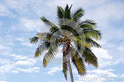 Coconut Tree in Aitutaki Lagoon Cook Islands