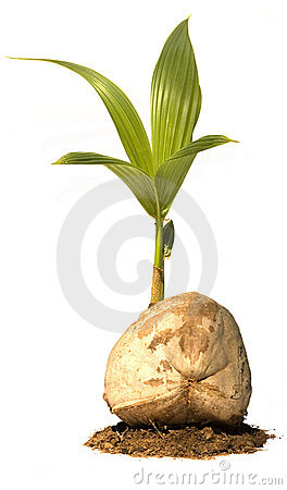 Coconut tree baby in earth isolated stock photos image 7541403