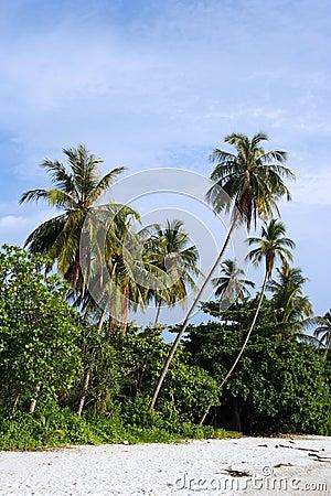 Coconut Tree at Beach