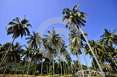 Coconut Tree on the Beach