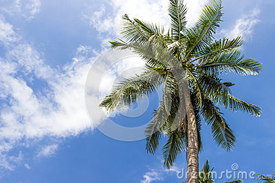A coconut tree on blue sky