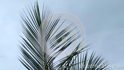 Coconut tree leaves moving in the wind stock video footage