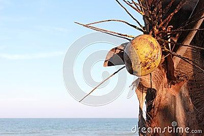 Coconut tree near a sea