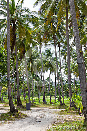 Coconut trees.
