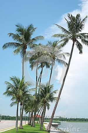 Coconut trees by the beach