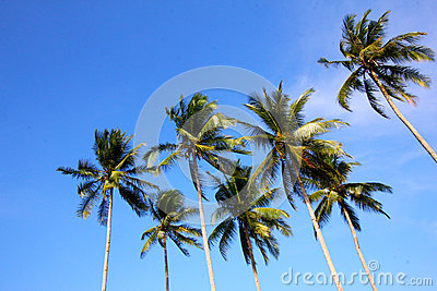 Coconut trees on blue skies