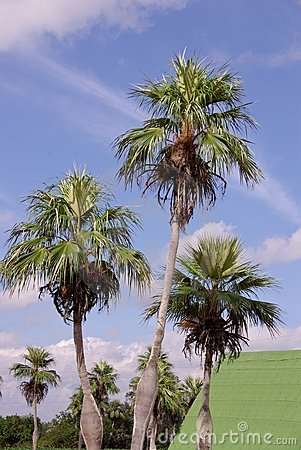 Coconut trees at a farm