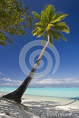 Coconut trees on moorea in sou