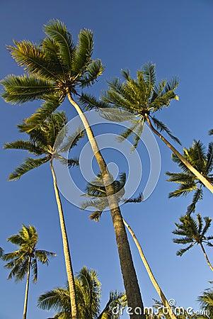 Coconut trees on moorea in south seas
