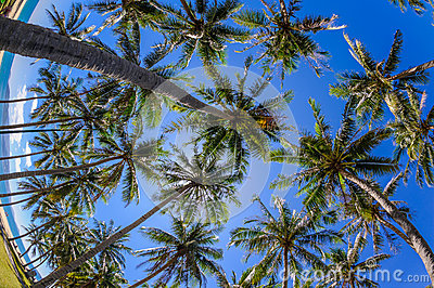 Coconut trees at nha trang beach in vietnam