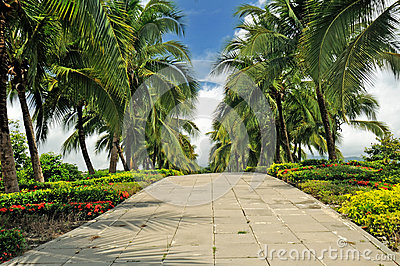 Coconut trees on the street.