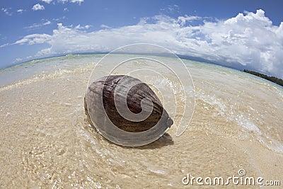 Coconut on tropical beach, Fiji
