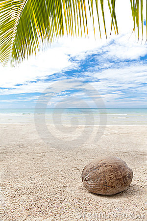 Coconut under palm trees on a lonely beach