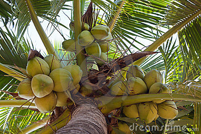 Coconuts and apart